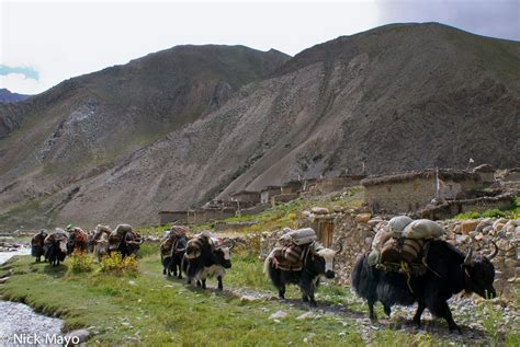 Yak Caravan Arriving From Tibet | Dol, Dolpo, Nepal (2007 ...