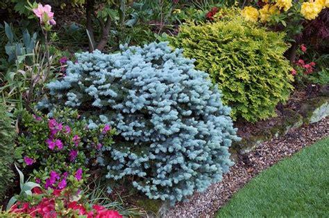abete nano da giardino sempreverdi da terrazzo piante da terrazzo scegliere