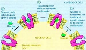 Glucose Transporter Type 4