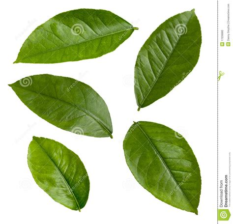 Lemon Leaves Isolated Stock Photo - Image: 17039980