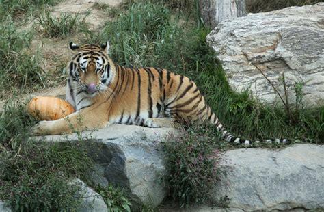 tiger chicken zoos preservation weekender tourism yonhap improving behavioral seoul eats awareness zoo program animals