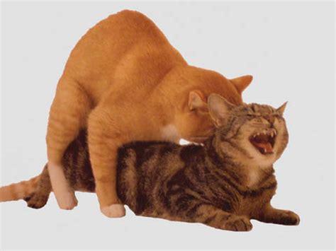 accoppiamento gatti persiani il ciclo estrale della gatta a va p a onlus protezione