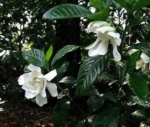 Gardenia Jasminoides Pflege : 1003 gardens gardenia jasminoides 39 michael 39 three ~ A.2002-acura-tl-radio.info Haus und Dekorationen
