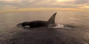 These Wild Orcas Don U0026 39 T Need A Tank To Put On A Show  Video