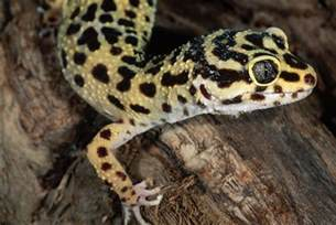 yellow kitchen decorating ideas geckos as pets care guide and introduction