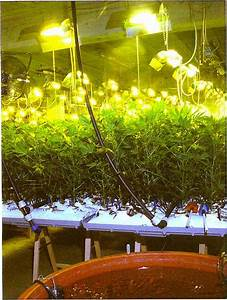 Cultiver En Scrog Interesting Ue With Cultiver En Scrog Intrieure Culture De Marijuana With