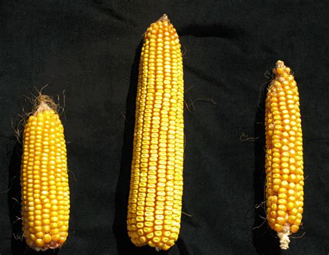 Detailed new genome for maize shows the plant has deep ...