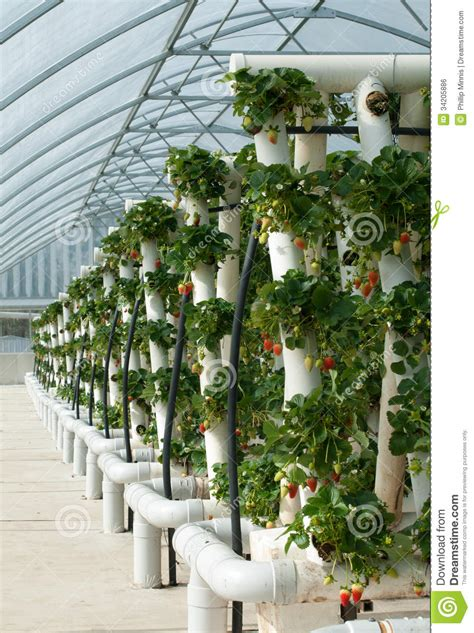 hydroponically grown strawberry vines stock photo image