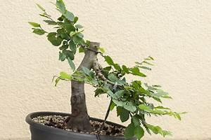 Wann Schneidet Man Hortensien Zurück : bonsai bescheiden bonsai ste schneiden f r wilhelm emmanuel von ketteler berufskolleg m nster ~ Eleganceandgraceweddings.com Haus und Dekorationen
