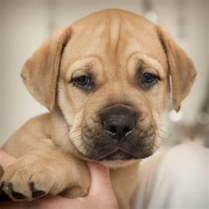 Bullmastiff Male Puppy - Pick of litter | Liverpool ...