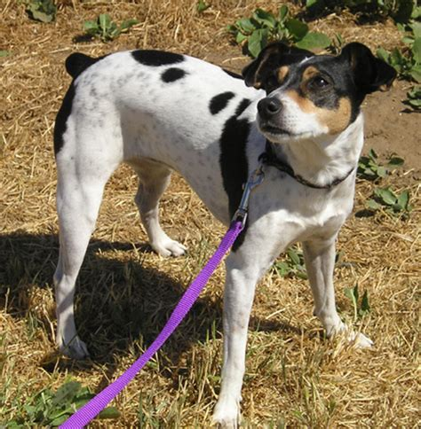 Rat Terrier Mix Shedding by Feist Breed Shedding Breeds Picture