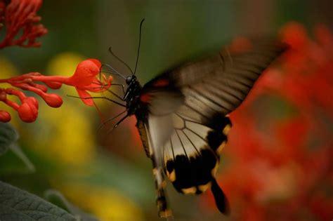 papillon un m 233 tabolisme actif augmenterait l esp 233 rance