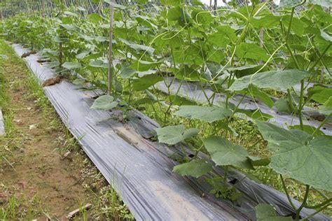 comment cuisiner les concombres concombre planter et cultiver ooreka