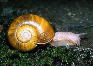 Snail Mollusca | Phylum Mollusca | Pinterest | Snail