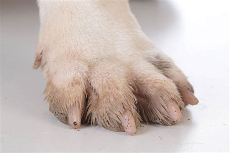Claw And Nail Disorders In Dogs Symptoms Causes