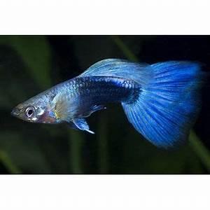 Blue Neon Guppy Freshwater munity fish omnivore t