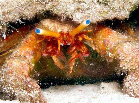hermit crab quot ocean treasures quot memorial library
