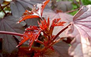 Pflanze Mit Roten Blüten : roter hibiskus pflanze hibiscus acetosella hibiskus ~ Eleganceandgraceweddings.com Haus und Dekorationen