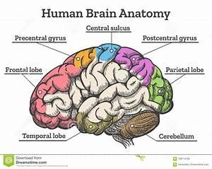 Pituitary Gland Cartoon Vector