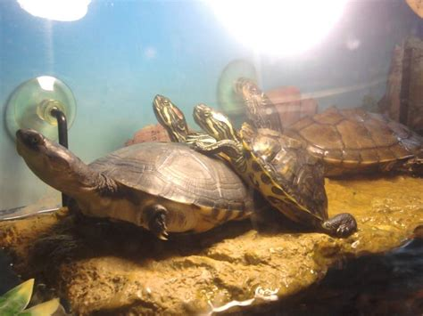 aquarium tortue d eau douce tortues d eau galerie la tortue facile