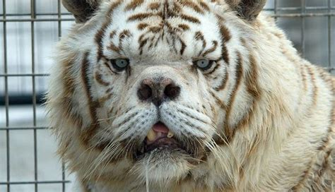 This Is Why No One Should Ever Breed White Tigers | Spay ...