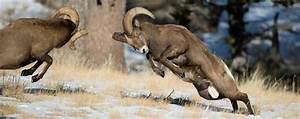 Image Gallery mountain rams fighting