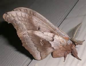 Large Brown Moth