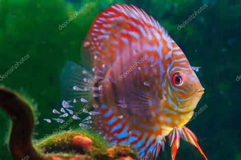 poissons discus de b 233 b 233 nager dans l aquarium photo 36402089