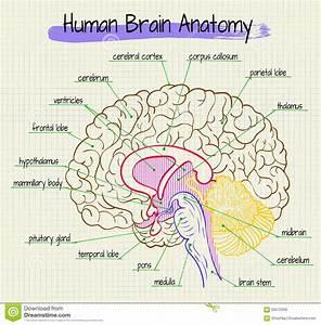 La Anatom U00eda De La Vista Lateral Del Cerebro Humano
