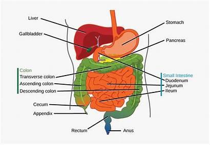 Digestive System Organs Kindpng