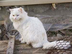 White Cat With Light Blue Eyes