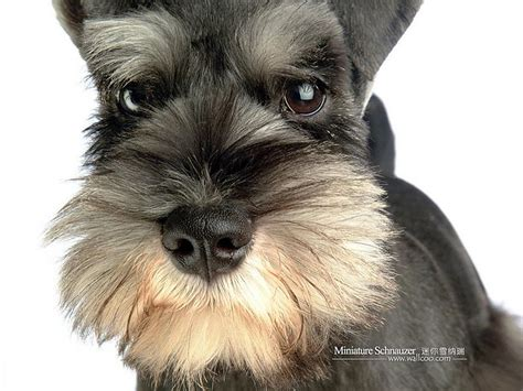 cute dogs miniature schnauzer dog