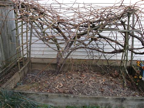 how to prune vines pruning backyard grapevines the candle wine project