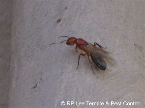 carpenter ants with wings rp lee termite pest control the bryan college station pest termite exterminators