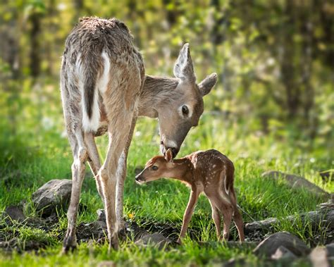 beautiful mom white tailed deer cleaning  baby