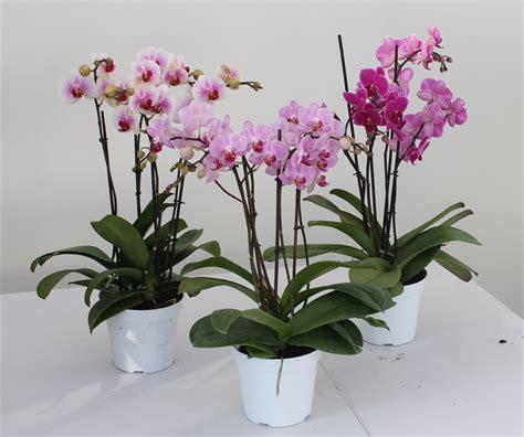 vaso per orchidea phalaenopsis orchidea phalaenopsis mini vaso 14 piante fiorite e
