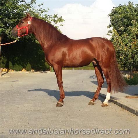 andalusian lebrero horses horse