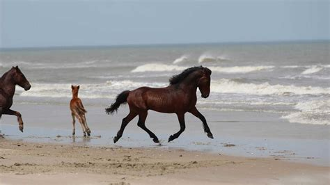north carolinas beloved wild horses expected  weather