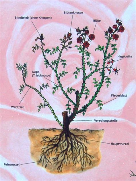 rosen im garten pflanzenfreunde