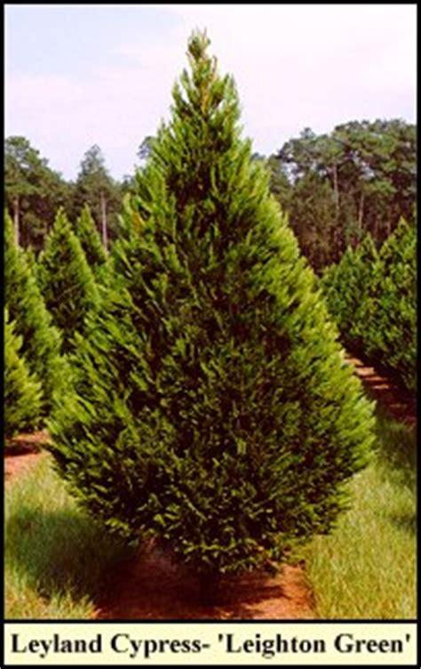 Leyland Cypress Christmas Trees Louisiana by Leyland Cypress Christmas Trees Grow At Shady Pond