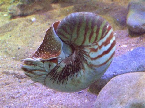Nautilus (genus)