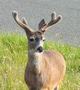 Bucks In Velvet  U2013 Mendonoma Sightings