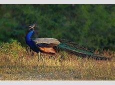 National Bird of India Indian Peacock An Essay