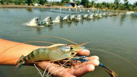 brackish potential   shrimp farming surge  india