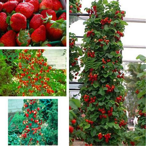 buy wholesale strawberry plants from china