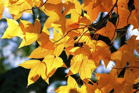 blühende hecke das ganze jahr amberbaum pflegen das ganze jahr 252 ber gartenpflanzen garten