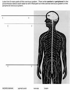 Central Nervous System Diagram Blank