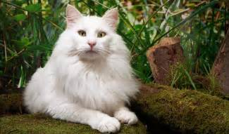 forest cat forest cat breed information