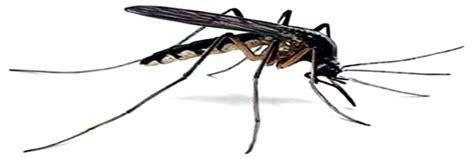 le a moustique efficace le g 233 raniol seule substance efficace contre les moustiques