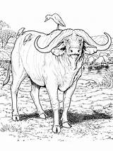 Buffalo Coloring Pages Animals Printable sketch template